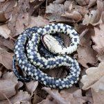 S.O.S. Serpente: a Cerveteri boom di richieste