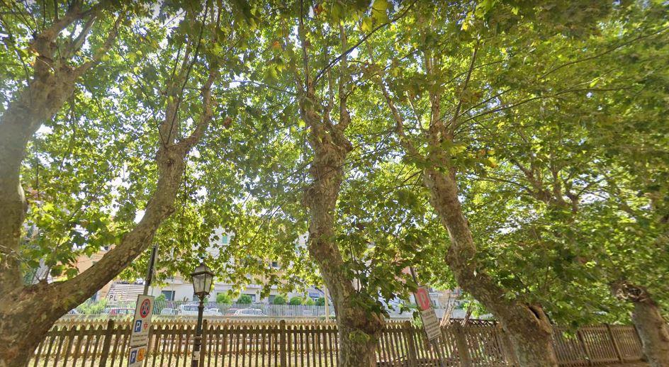 Domani abbattimento di quattro alberi di viale Odescalchi: Tondinelli persevera. Ma c'è l'autorizzazione paesaggistica?