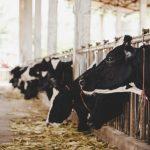 """Coronavirus, Minnucci (Pd): """"Agli allevatori chiesta riduzione latte vaccino. Scelta pericolosa"""""""