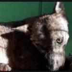 Un lupo ferito salvato dal servizio veterinario della Asl Roma 4