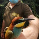 Parco di Bracciano-Martignano: Coloratissimo Gruccione vittima del bracconaggio